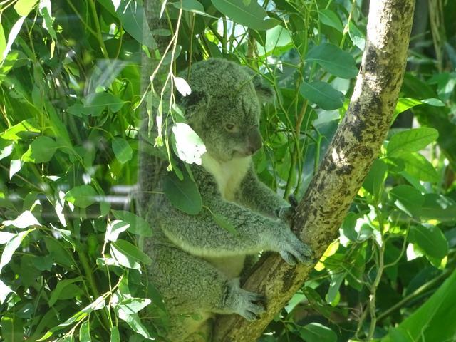 70-koala