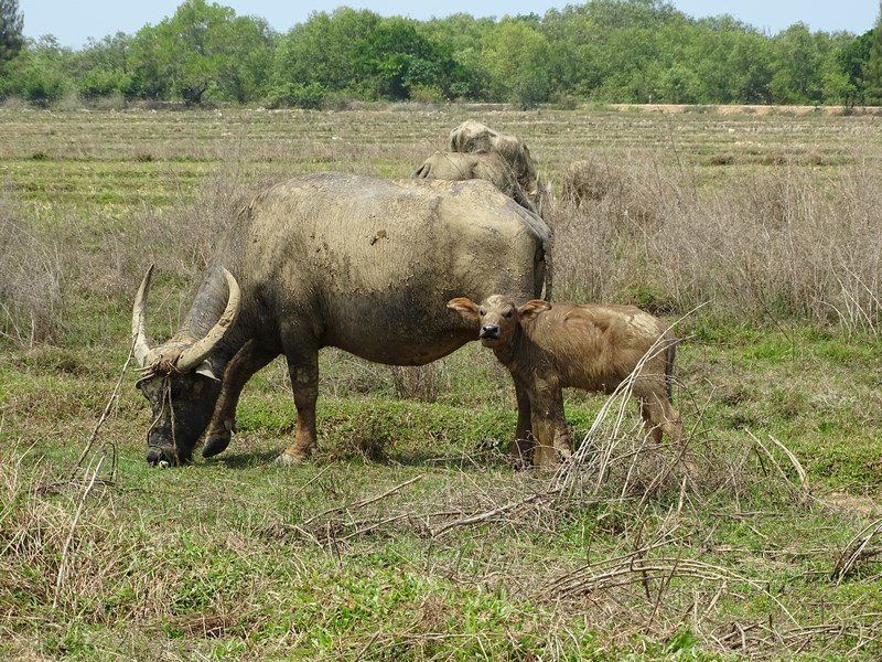 28. Water buffalo