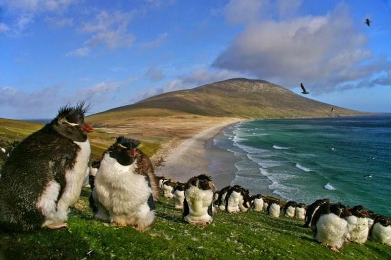 10. Pinguini insulele Falkland
