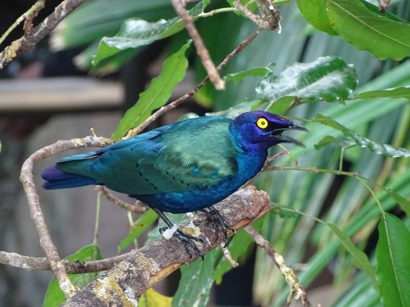 14. Pasare albastra - verde