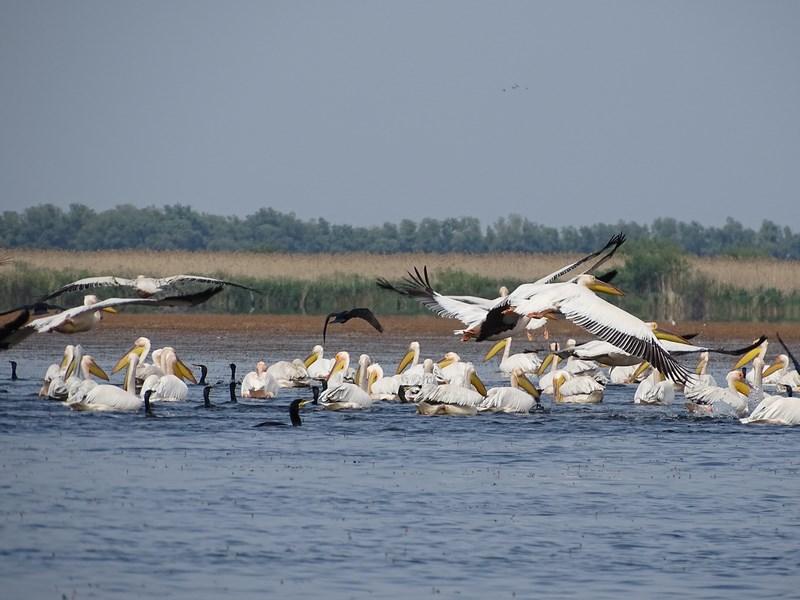 32. Pelicani Delta Dunarii