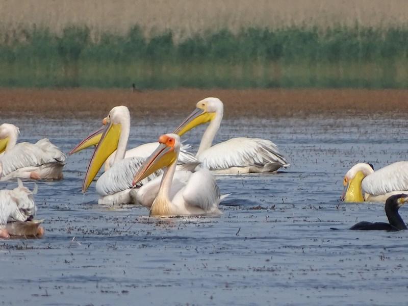 33. Colonie pelicani