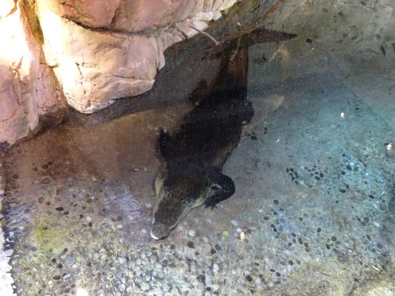 38. Crocodil