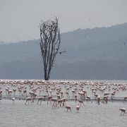 25. Nakuru Flamingo