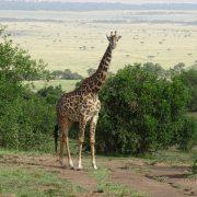 05. Girafa