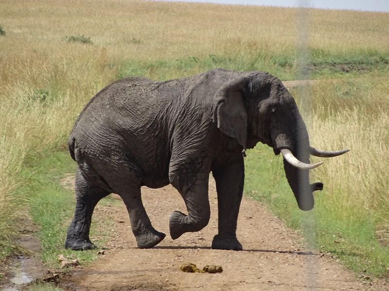 37. Elefant Masai Mara