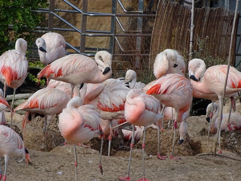 . Flamingo