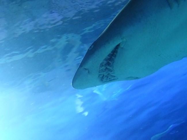 . Rechin Oceanografic