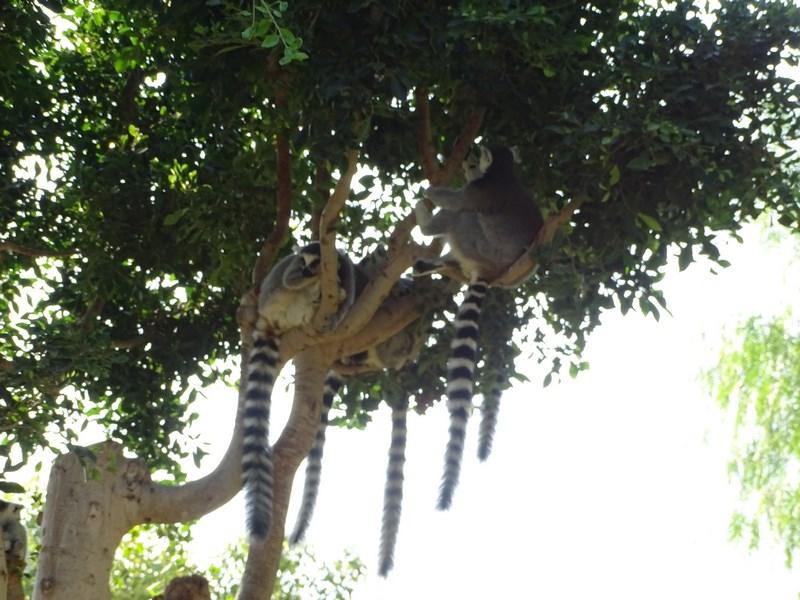 . Cozi De Lemur