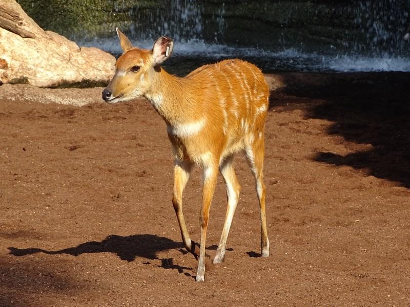 . Antilopa