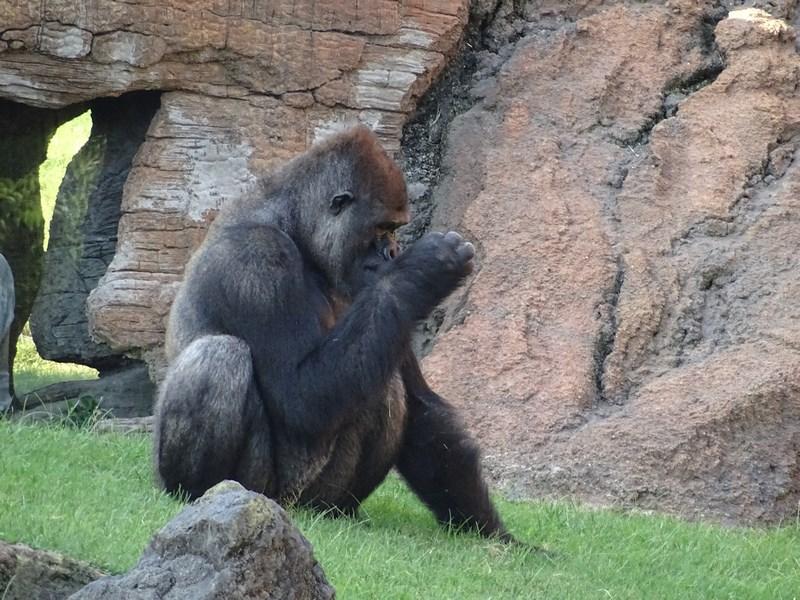 . Gorila