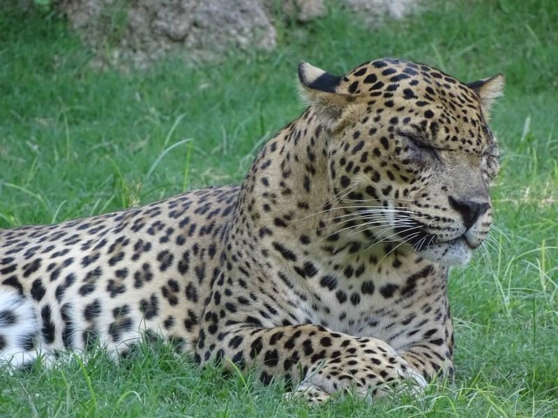 . Leopard