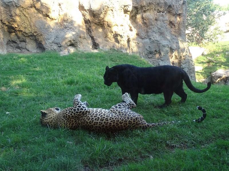 . Leopard Si Pantera
