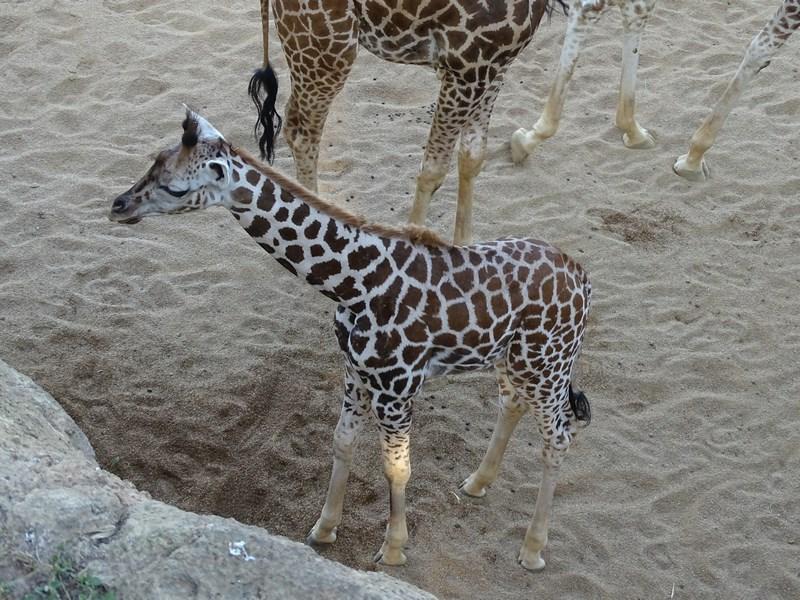. Girafa