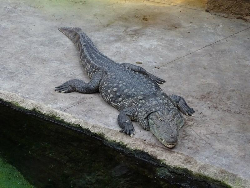 . Crocodil