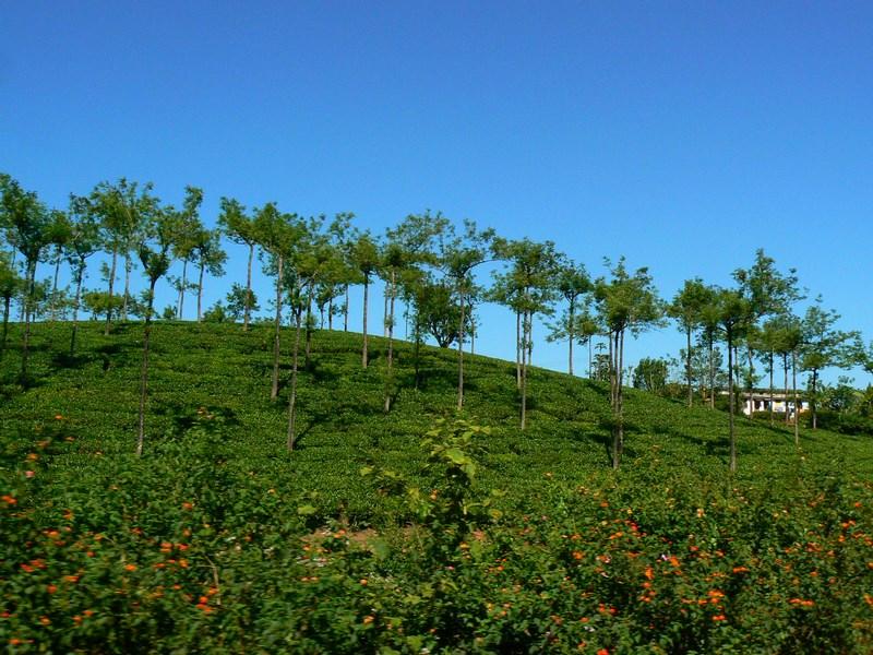 . Plantatii De Ceai