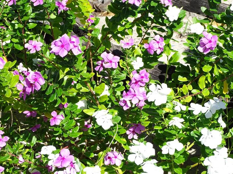 Flori Filipineze
