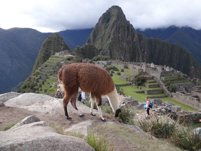 Lama La Macchu Picchu