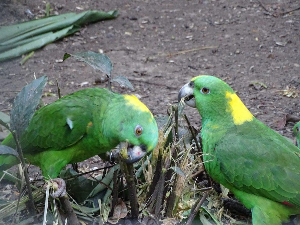 . Papagali Verzi