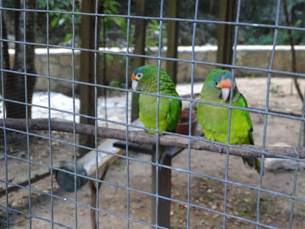 Papagali Copan