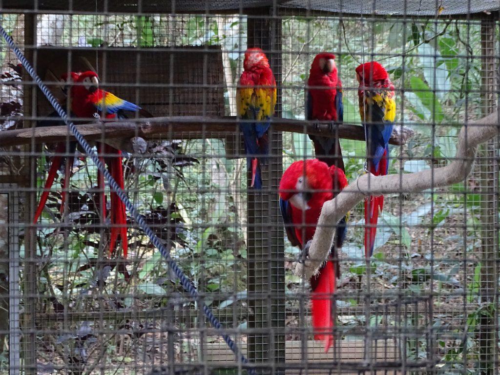 Papagali Tricolori