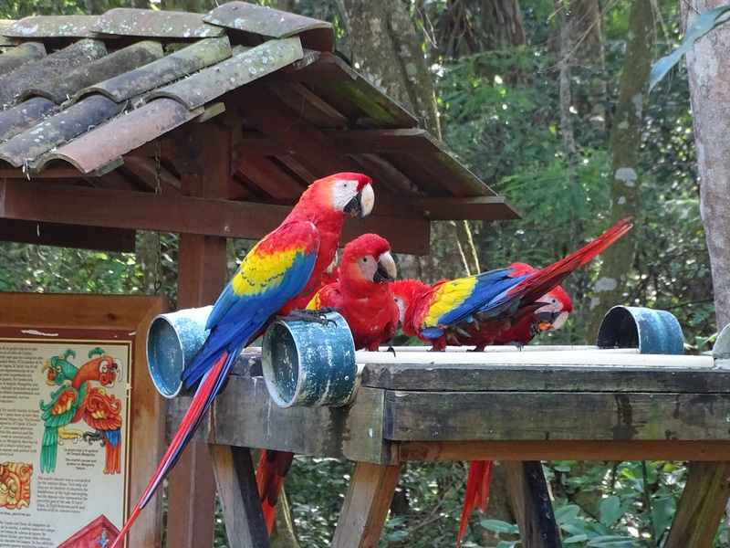 Papagali Copan Honduras