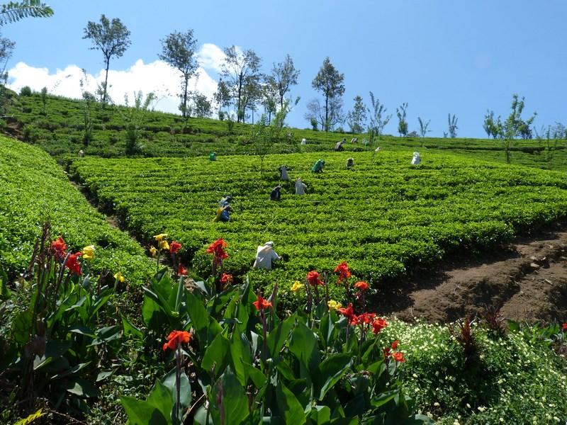 Plantatii Ceai Sri Lanka
