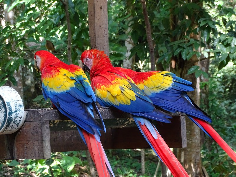 Papagali Rosu Galben Albastru
