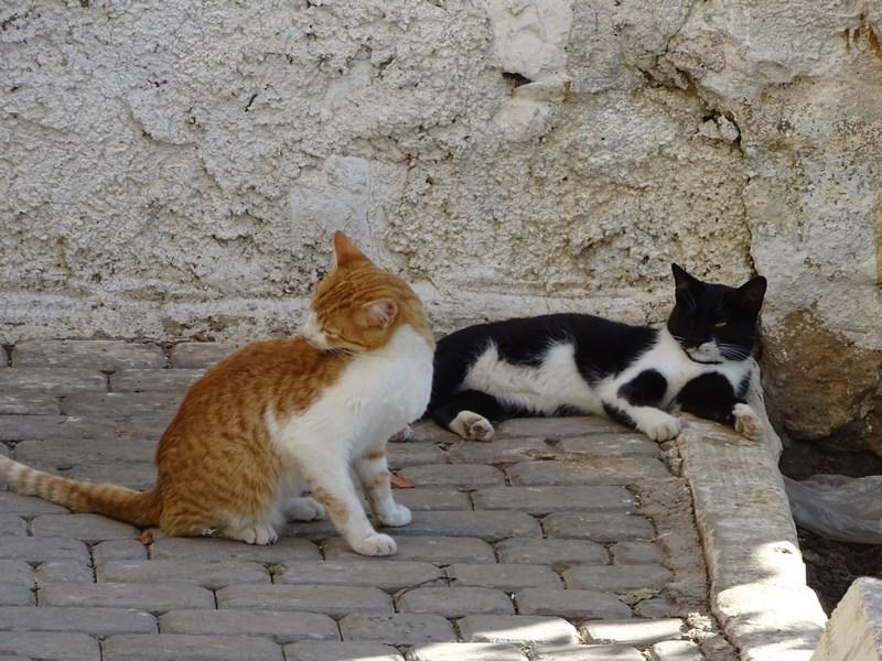 Pisici Din Maroc