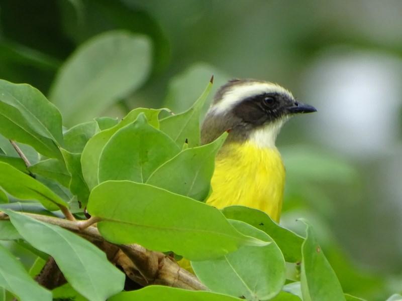 Vrabie Costa Rica