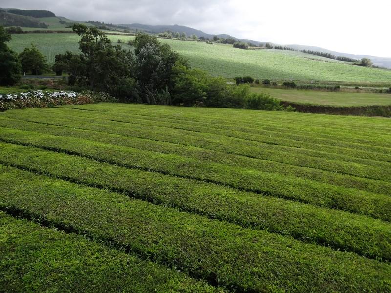 Ceai Azore