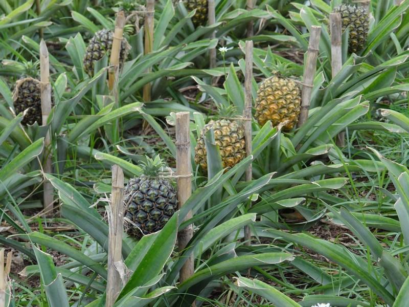 Ananas Azore