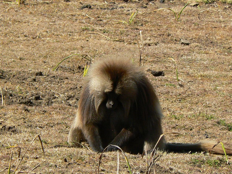 Maimuta Etiopia