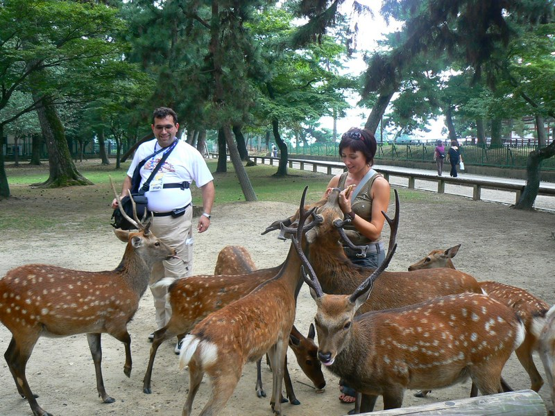 Caprioare Nara Japonia
