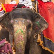 Elefant Jaipur