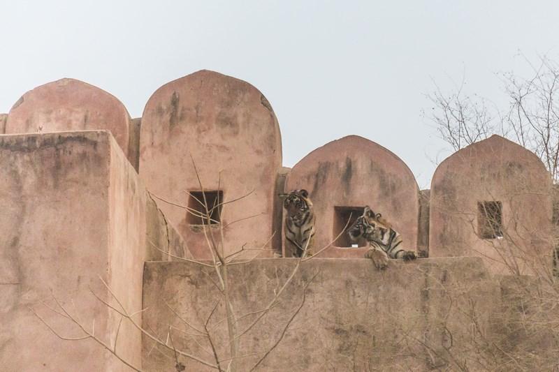Tigri Bengalezi