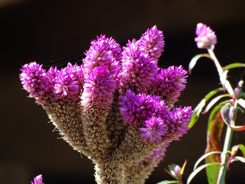 Flori Thailandeze