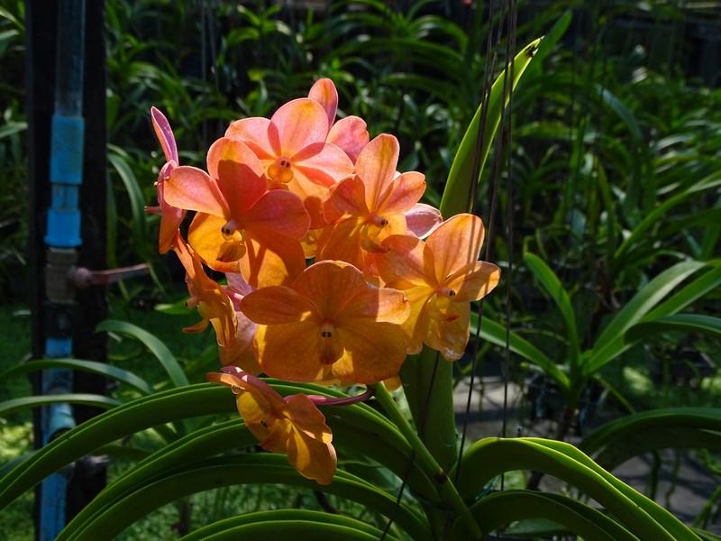 Orhidee Roz