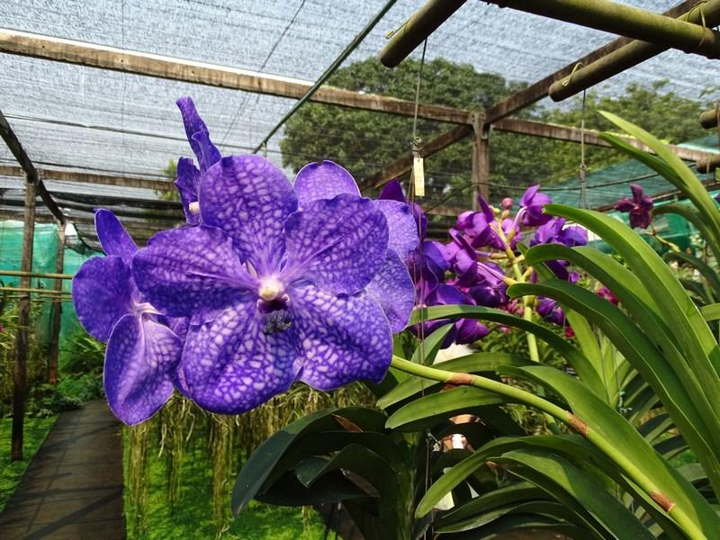 Orhidee Albastrui