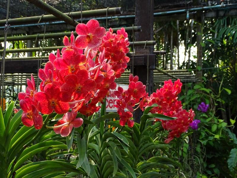 Orhidee Rosii