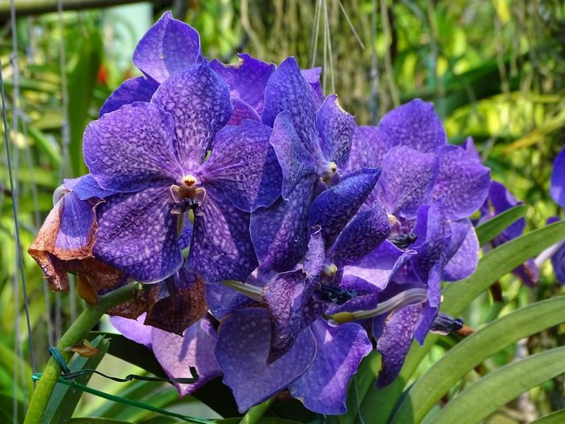 Orhidee Bleu