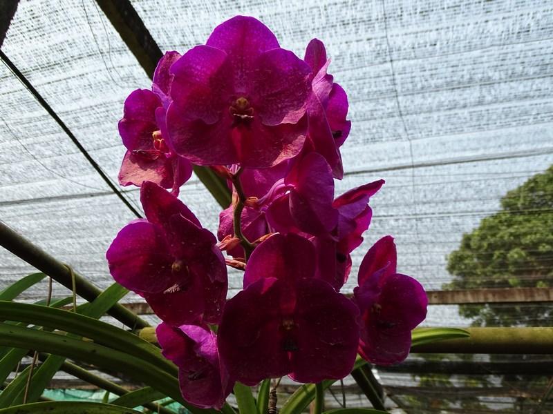 Orhidee Grena