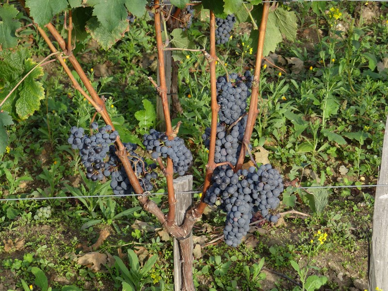 Struguri De Bordeaux