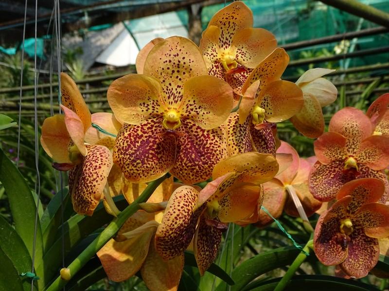 Orhidee Portocalii