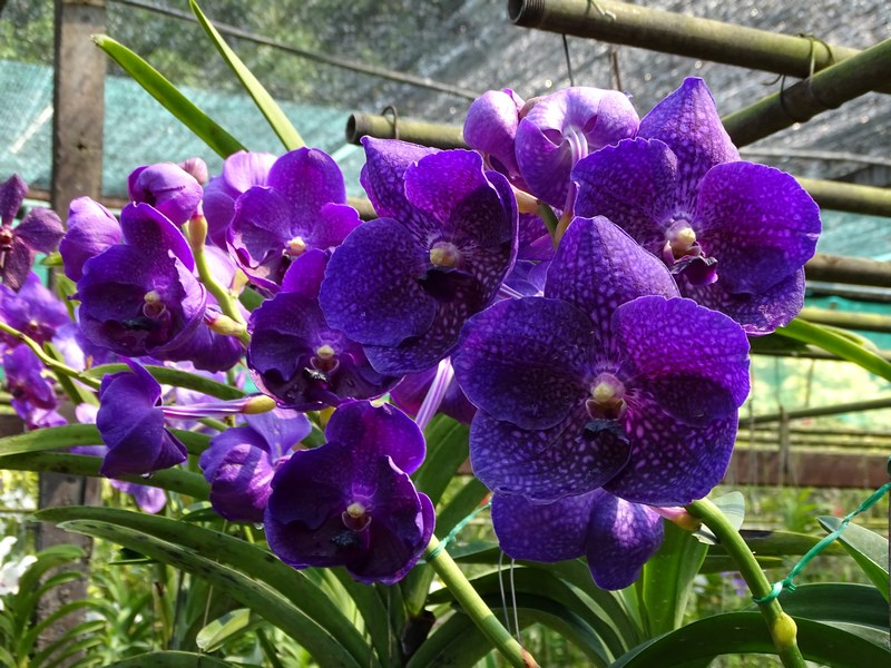 Orhidee Thailanda