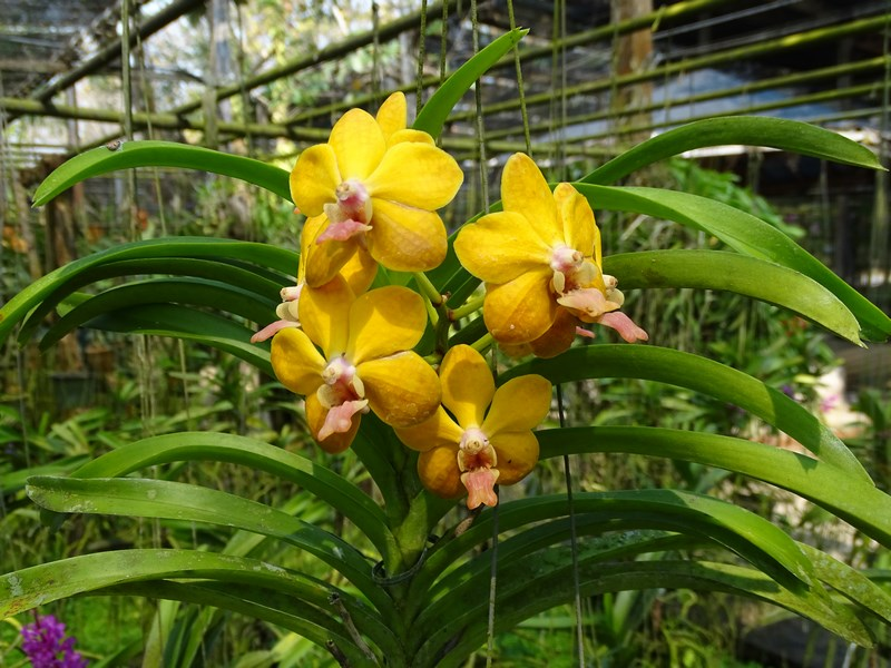 Orhidee Galbene