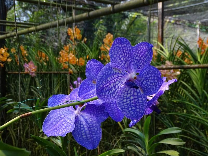 Orhidee Thailandeze