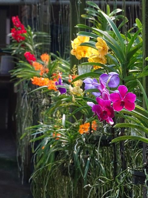 Orhidee Multicolore