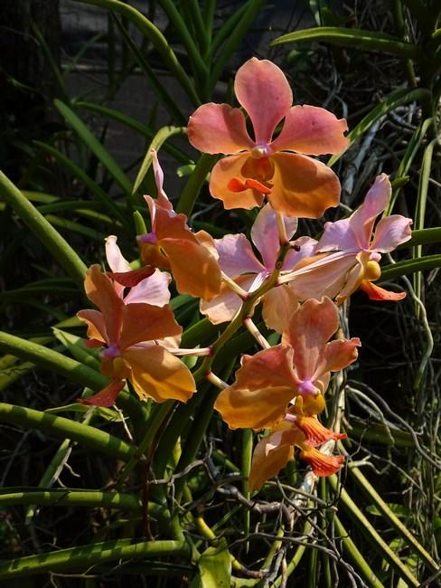 Orhidee Caramizii