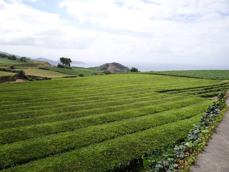 Plantatie Ceai